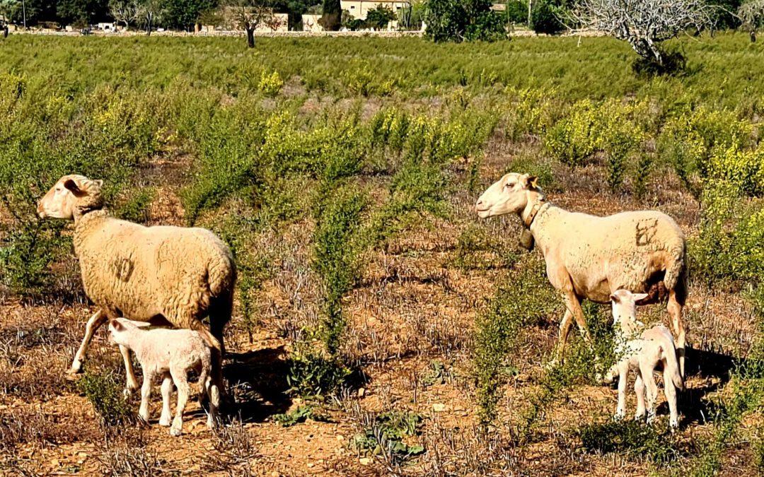 Excursió Talaiot des Rossells (Campos – Felanitx). Diumenge dia 1 de novembre